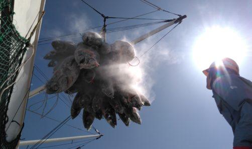 大西洋クロマグロ、養殖クロマグロ の実証実験について